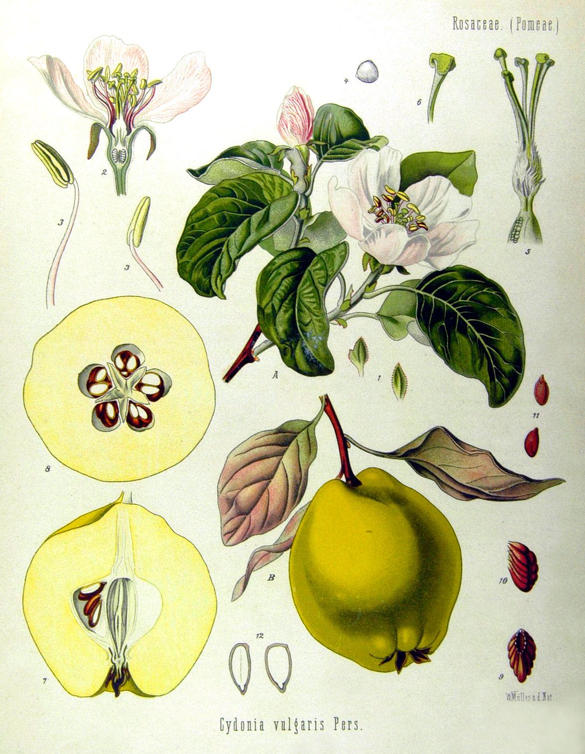 sierysuje.pl ilustracja botaniczna pigwa