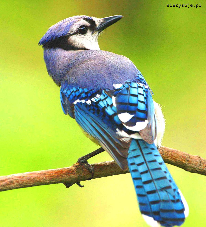 sierysuje.pl jak namalować pióro ptasie