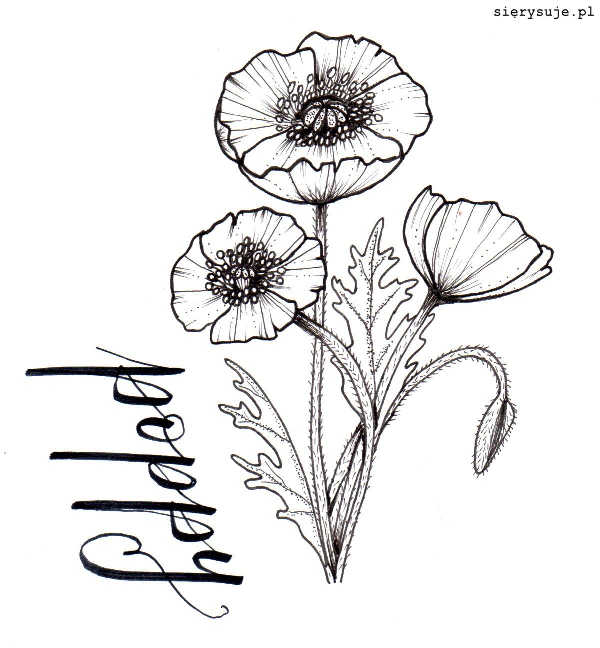 sierysuje.pl line drawing rysunek botaniczny mak polny