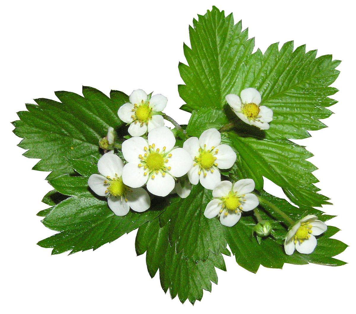 sierysuje.pl truskawla kwiat liść