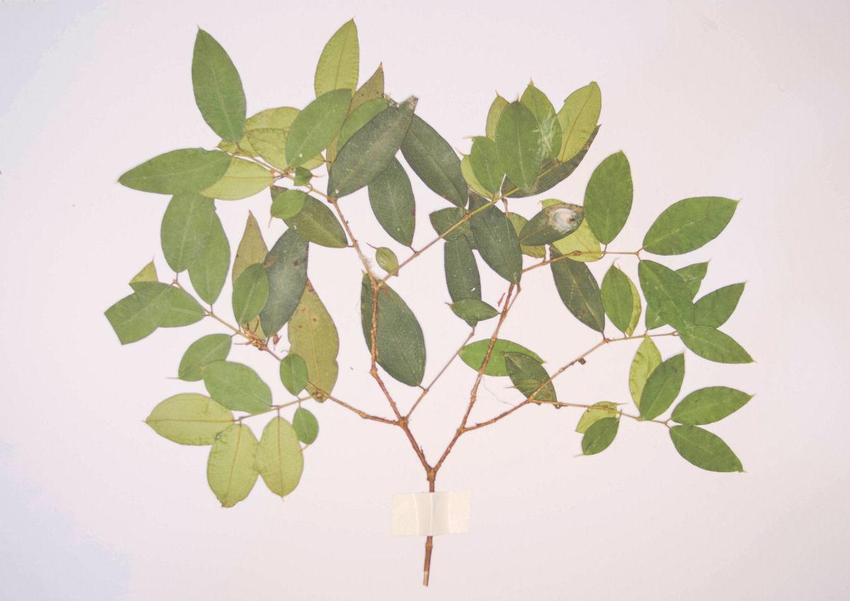sierysuje.pl zielnik herbarium suszone liście